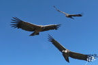 Condors