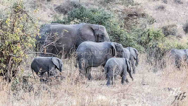 Elephants - N'GORONGORO -9
