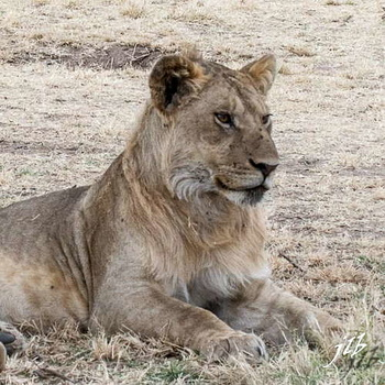Lion - centre SERENGETI-205