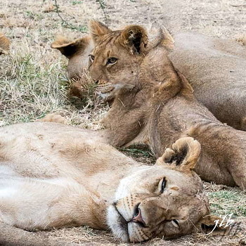 Lion - centre SERENGETI-206