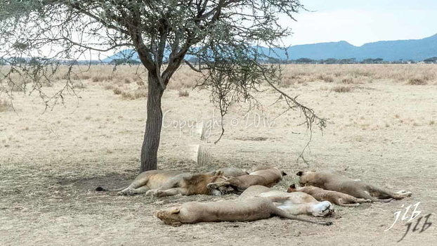 Lion - centre SERENGETI-217