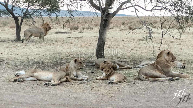 Lion - centre SERENGETI-221