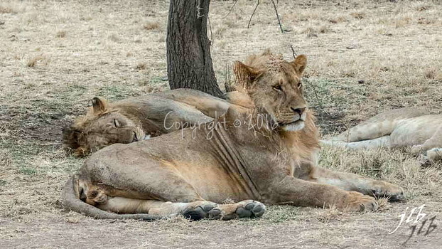 Lion - centre SERENGETI-225