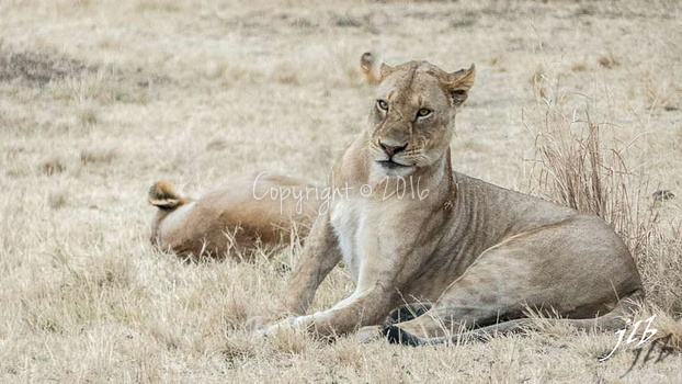 Lion - centre SERENGETI-226