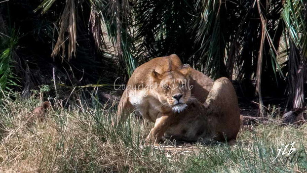 Lion - centre SERENGETI-197