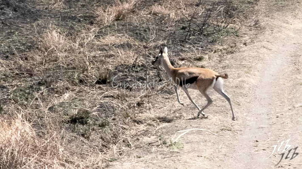 Gazelle de Thomson - centre SERENGETI-1