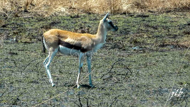 Gazelle de Thomson - centre SERENGETI-2