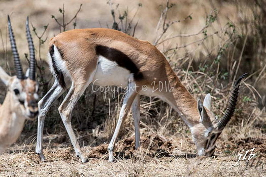 Gazelle de Thomson - centre SERENGETI-3