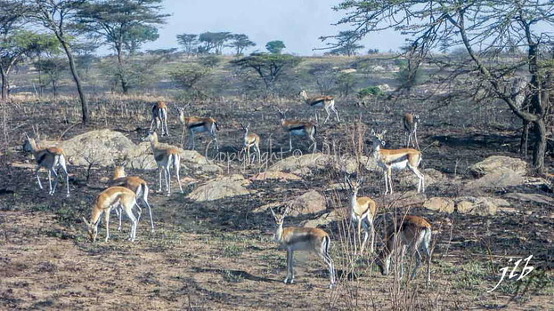 Gazelle de Thomson - centre SERENGETI-7