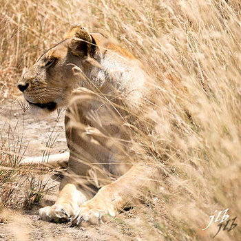 Lion - centre SERENGETI-16