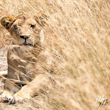 Lion - centre SERENGETI-17