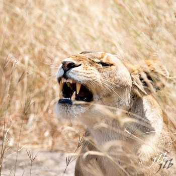 Lion - centre SERENGETI-20
