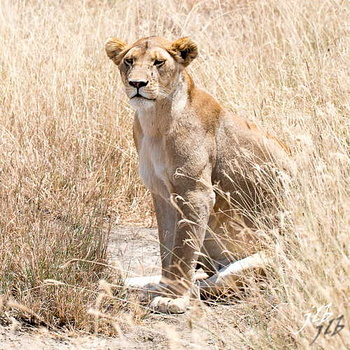 Lion - centre SERENGETI-23