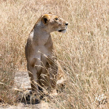 Lion - centre SERENGETI-25