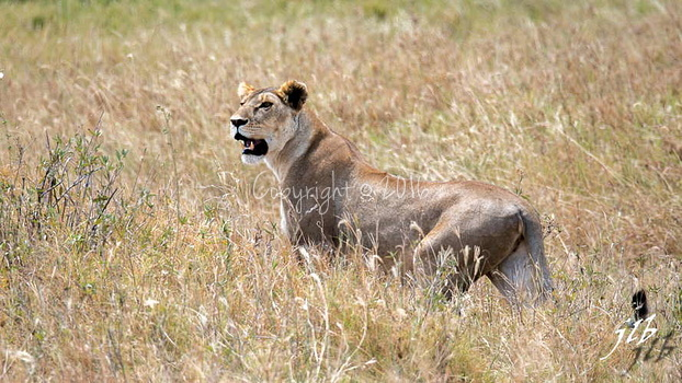 Lion - centre SERENGETI-35