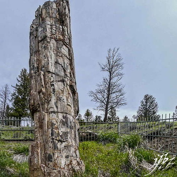 Petrified tree-4